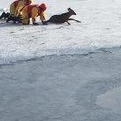 Sauvetage d'un chevreuil sur le Grand Lac St-François!
