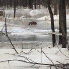Sauvetage inusité d'un chevreuil à Sorel-Tracy!