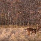 Chevreuil: les mâles commencent à faire des grattages