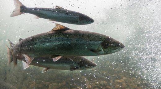 Rivières à saumon et engouement pour le plein air