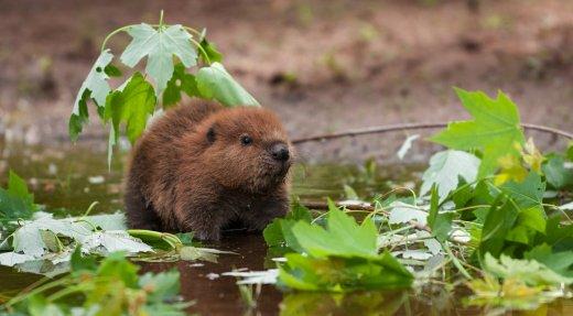 Cohabiter avec les castors pour le bien de la biodiversité