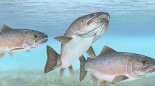 Nouveau projet d'élevage de saumons au Lac Champlain
