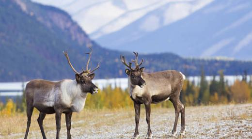 Caribous: Mise en place de mesures exceptionnelles