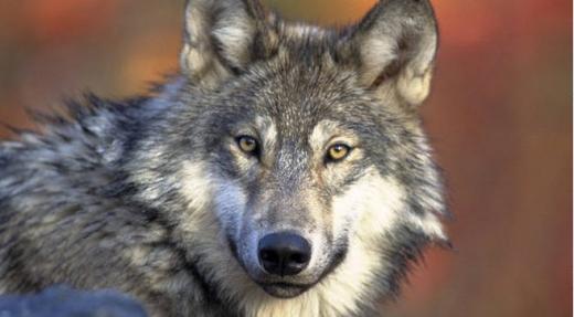 Les loups changent de statut