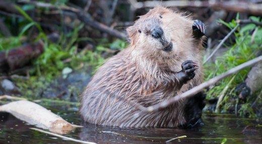 La migration des castors vers le nord