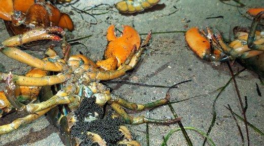 Deux individus interceptés pour braconnage de homards à Longue-Rive