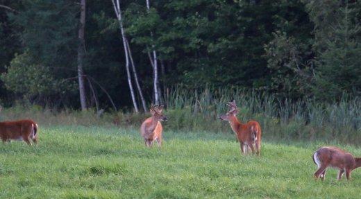 Un ratio des sexes équilibré avantage la progression dynamique des troupeaux de cerfs!