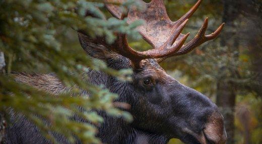 Ouverture au grand public pour les réservations de chasse au gros gibier dans les réserves fauniques