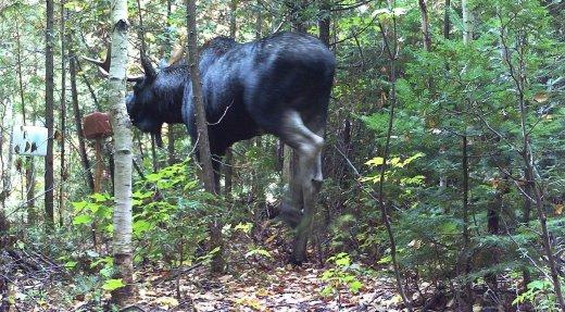 Zecs Québec consulte sur la chasse à l'orignal
