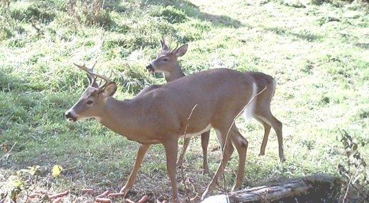La pérennité du cheptel de cerfs en Outaouais