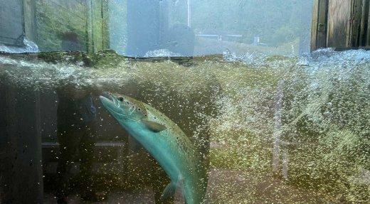 Montaison hâtive et prometteuse du saumon en été 2021