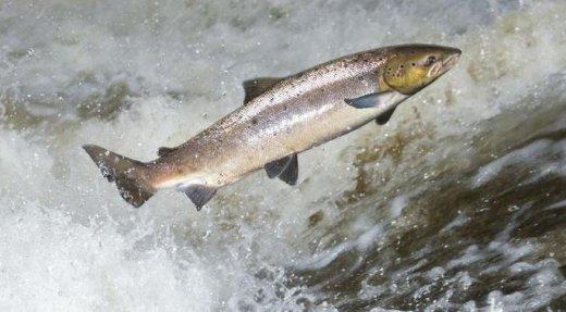 Montaisons de saumon atlantique encourageantes en 2016