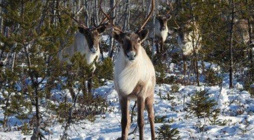 La tordeuse transforme l'habitat Côte-Nord à l'avantage du loup sur le caribou