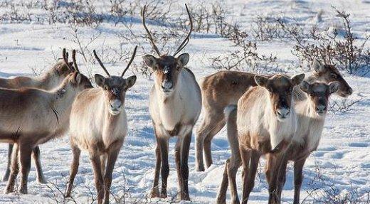Fermeture de la chasse sportive au caribou migrateur