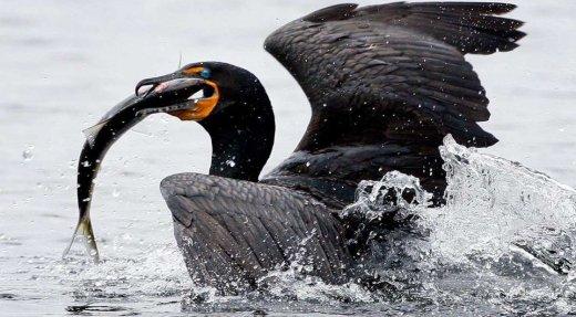 Établissement d'une saison de récolte automnale au cormoran à aigrettes en vue de protéger les écosystèmes locaux