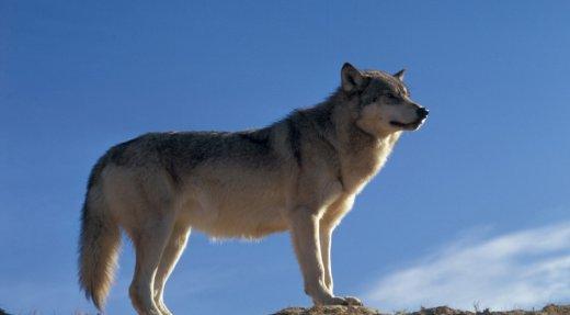 Québec veut abattre des loups