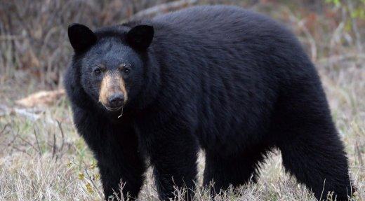 Les agents de la faune souhaitent prévenir d'autres attaques d'ours noir