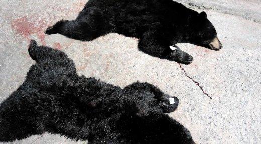 Les ours noirs du Québec, prochaines victimes de la COVID-19?