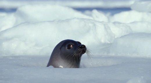 La chasse au phoque prend de l'expansion en Gaspésie