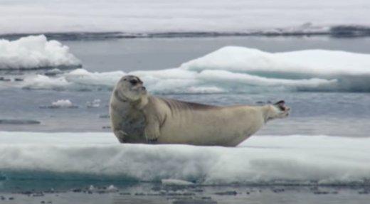 La chasse aux phoques nuisibles bientôt interdite au Canada