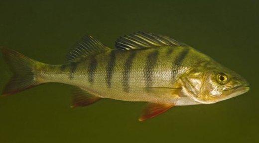 Pêche à la perchaude au lac Saint-Pierre – Reconduction du moratoire jusqu'en 2022