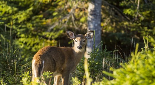 ANTICOSTI: Ouverture des réservations pour la chasse expérimentale.