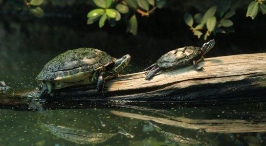 Signalez les tortues que vous croisez